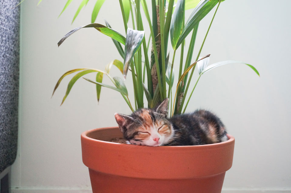 kitten ligt in plantenpot