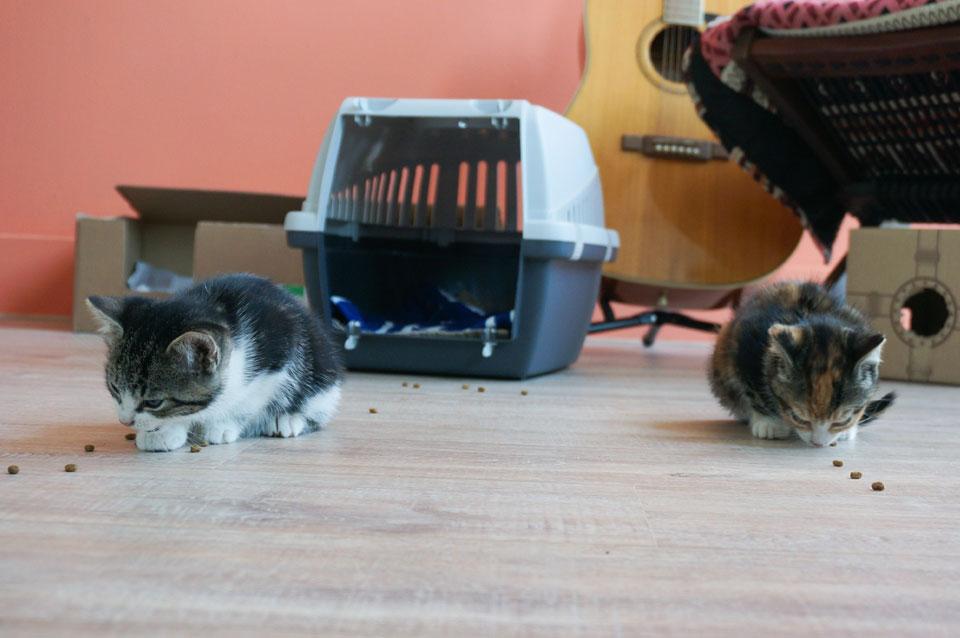 kittens worden uit reismandje gelokt met kattenbrokjes