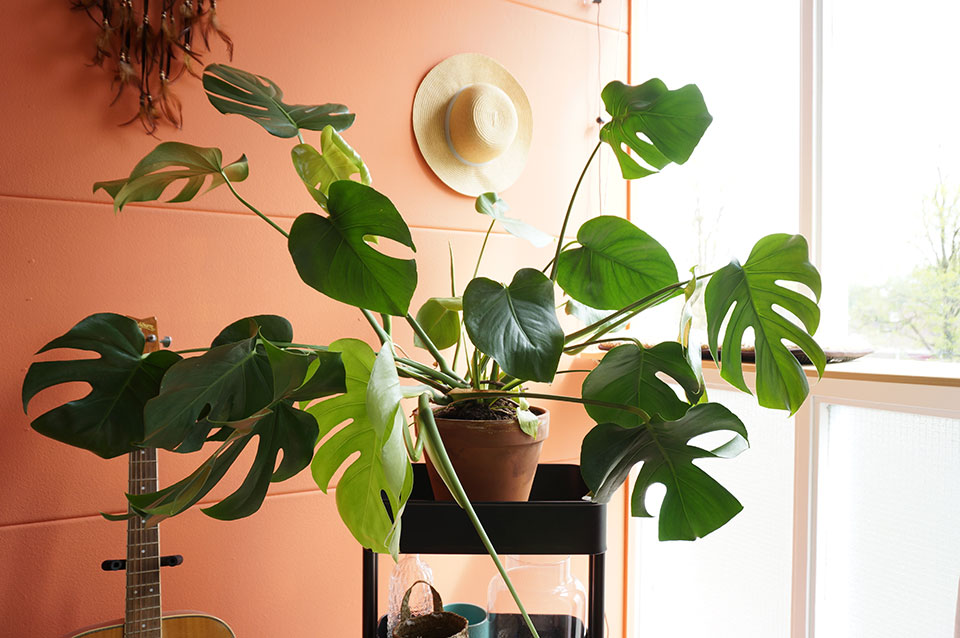 Monstera Deliciosa Gatenplant